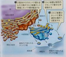 アメリカ版大学生物の教科書 (第1巻 細胞生物学)